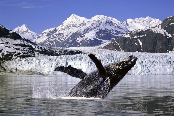 Ballena jorobada en Alaska