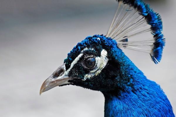 La cabeza de un pavo real