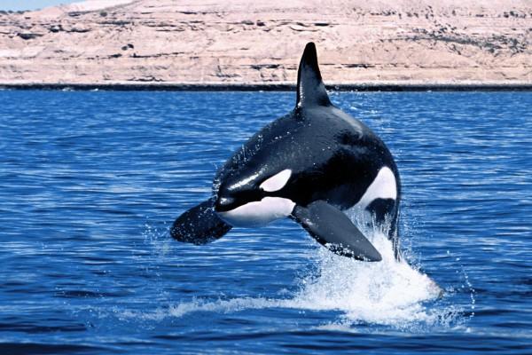 Orca saltando en el agua