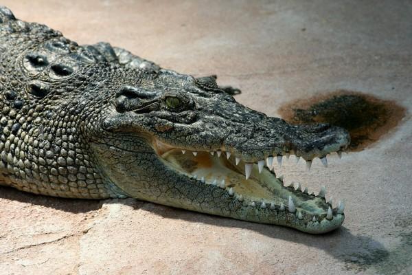 Cocodrilo marino (Crocodylus porosus)