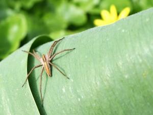 Araña Pisaura mirabilis