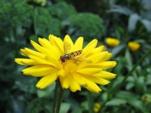 Postal: Abeja sobre una gran flor amarilla
