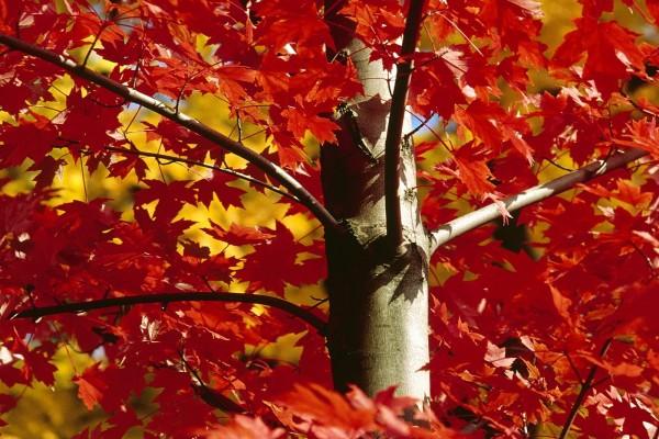 Un arce con las hojas rojas