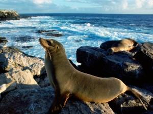 Postal: León marino en las rocas