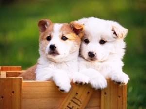 Dos perritos en una caja de madera