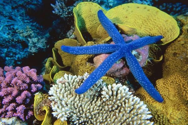 Estrella de mar azul (Linckia laevigata)