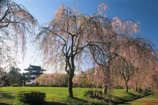 Árboles en el castillo Hirosaki, Japón