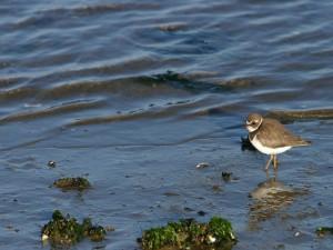 Pájaro en la orilla buscando comida