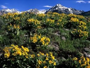 Postal: Balsamorhiza sagittata al pie de las Boulder Mountains (Idaho)