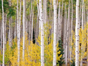 Postal: Otoño en Aspen, Colorado