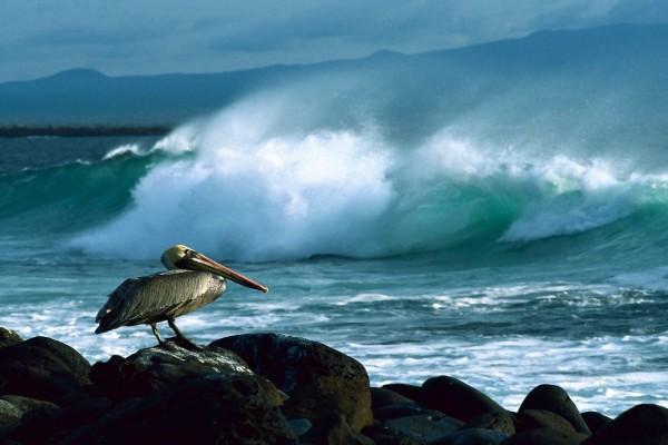 Pelícano pardo, Galápagos