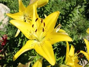 Grandes lilium amarillos