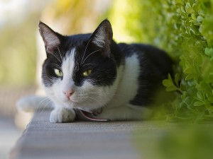 Postal: Un gato blanco y negro con ojos verdes