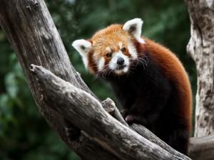 Postal: Un panda rojo encima de los troncos