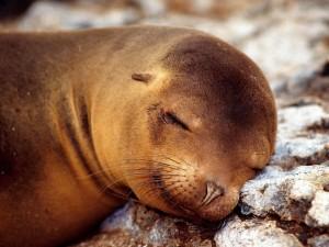 Postal: León marino durmiendo