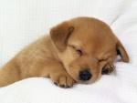 Perrito marrón dormido