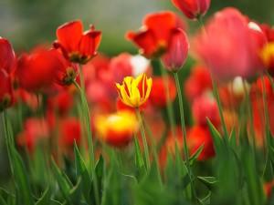 Un tulipán amarillo entre tulipanes rojos
