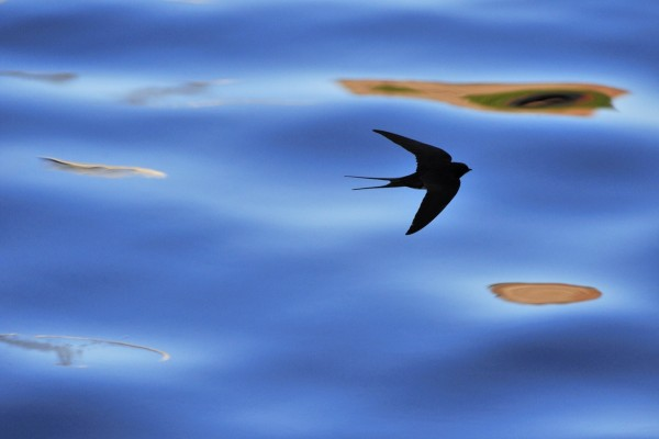 La sombra de una golondrina