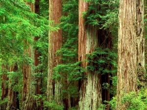 Secoyas en el Big Basin Redwoods State Park, California
