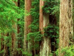 Secoyas en el Big Basin Redwoods State Park, California