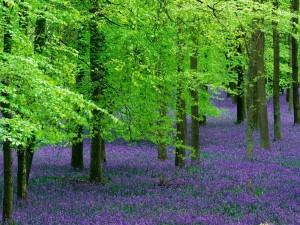 Campanillas y árboles de haya, Inglaterra