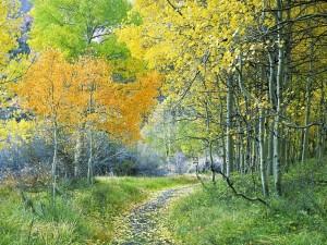 Postal: Bosque de álamos, Sierra Oriental, California