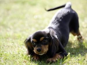 Perrito negro en la hierba