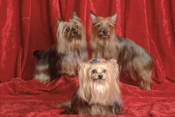 Tres Yorkshire terrier