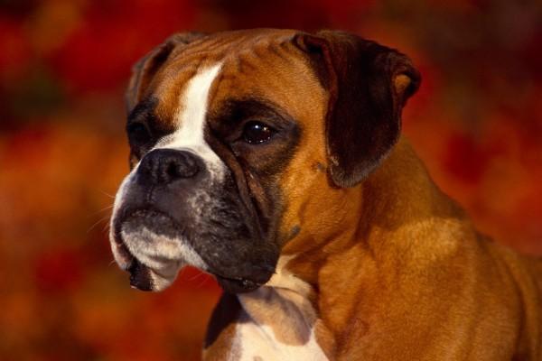 Un perro bóxer