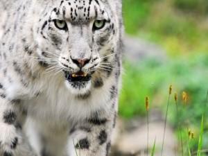 Postal: Un joven tigre blanco