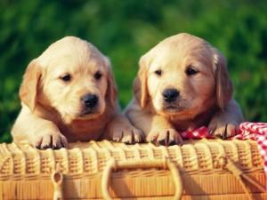 Dos perros junto a una cesta