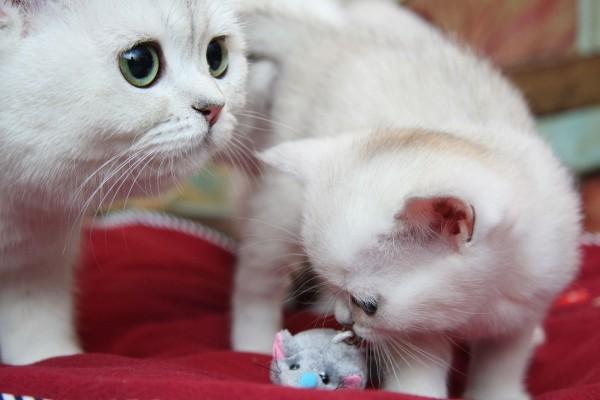 Gatos y un ratón de juguete