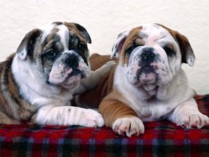 Dos bulldogs