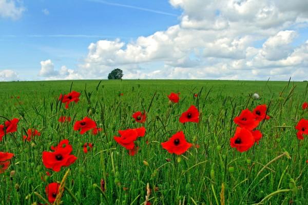 Amapolas rojas en un campo verde