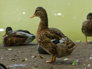 Postal: Patos cerca del agua