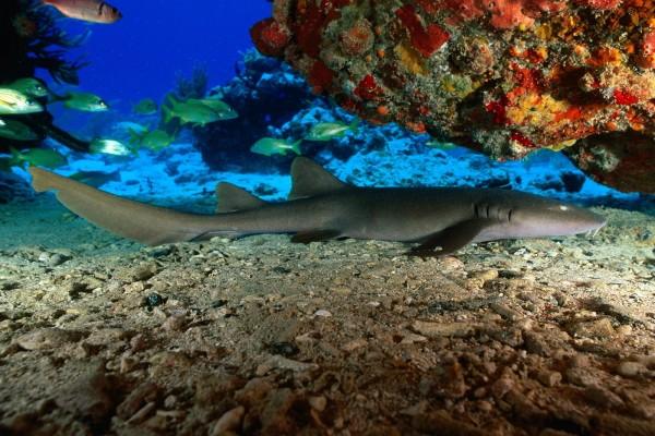 Tiburón nodriza