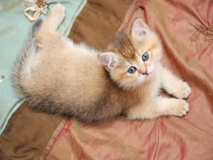 Gatito con los ojos azules
