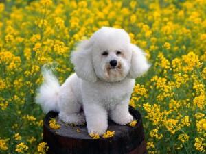 Bichon Frisé entre flores amarillas
