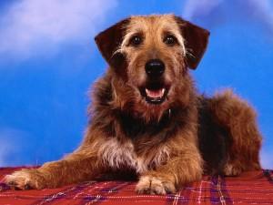 Postal: Perro sobre la manta