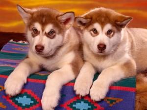 Dos pequeños huskies