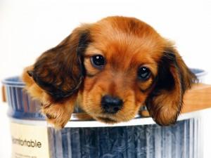 Postal: Perrito marrón en un cubo