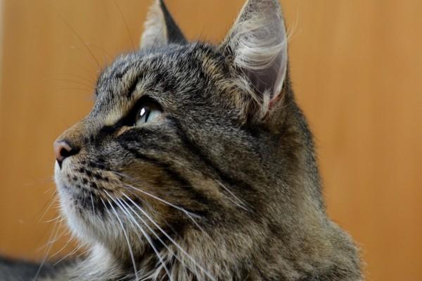 Gato gris de perfil