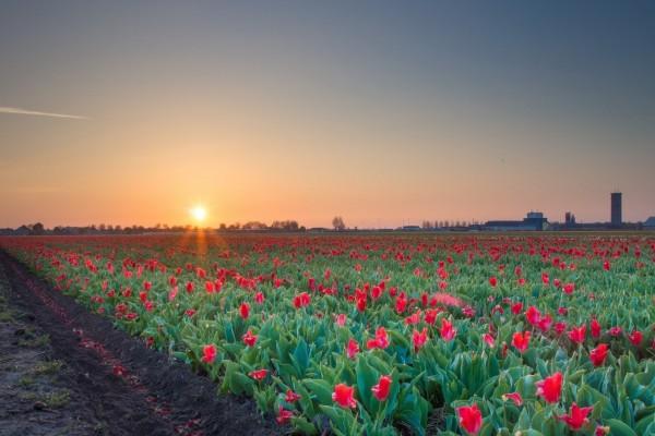 Amanecer en un campo de tulipanes rojos