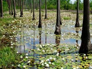 Nenúfares y árboles en el agua