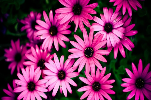 Grupo de flores rosas