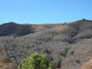 Castaños deshojados en la Serranía de Ronda
