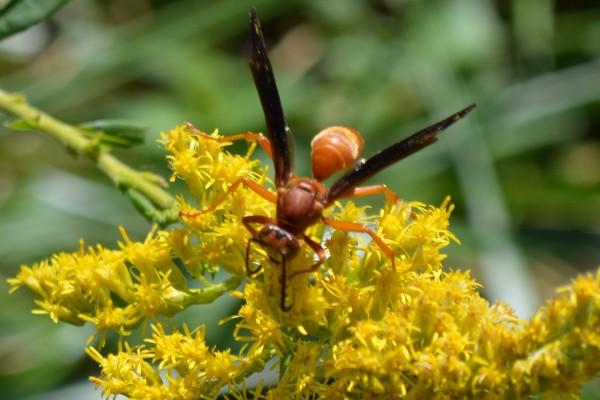 Un gran insecto en las flores amarillas