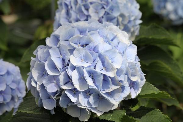 Bonitas hortensias