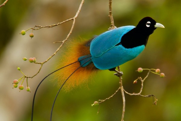 Pájaro negro y azul