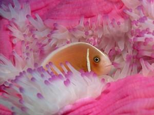 Pez en una anémona rosa